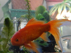 Cabomba and Male Goldfish