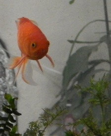 Goldfish looking out