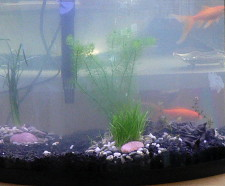 Goldfish_cloudy_aquarium 225
