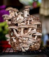 Burpee Shitaki Mushroom Kit 175