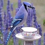 blue jay on tea cupScale