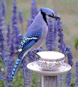 blue jay on tea cupScale