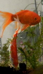 Female Goldfish Digging DSCN0036 175