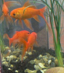 Goldfish_and_their_reflections_in_Eclipse_12 225