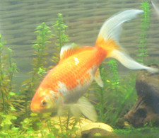 Goldfish_w_plants_7_7_13 225