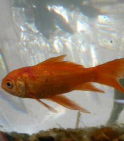 Goldfish_with_Red_Splotch_Scale
