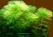 aquatic_plants_limnophila 175