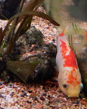 Female Goldfish lying on bottom DSCN1797 350