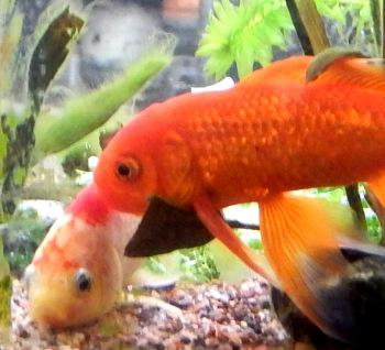 Male goldfish attentive to female DSCN1815 350
